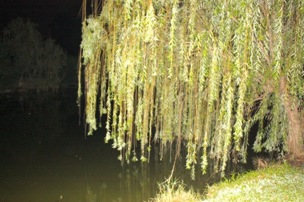 Willows like these are a fav place to tackle Peacock Bass
