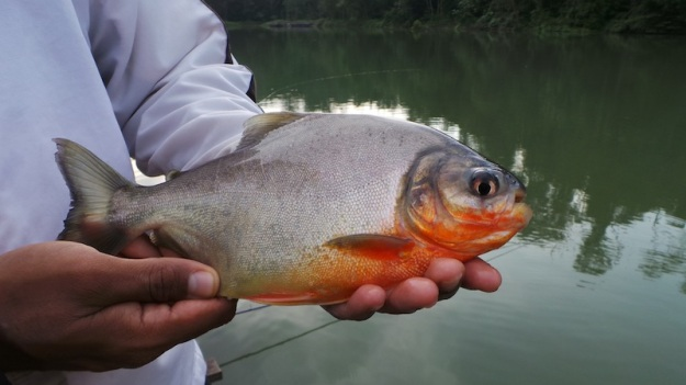 As the evening progressed the Pacu started to become active. our first pacu