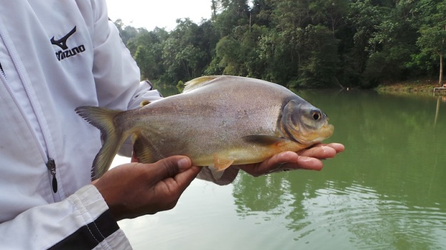 Our second pacu. Big fella. But halve the size of what the really big ones can be in these waters.